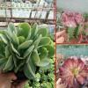 姬胧月多肉植物_多肉植物网站-18788196071
