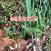 四川成都市10~20cm白芨种苗多少钱?