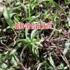 江西上饶市20~30cm白芨种苗多少钱?