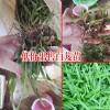 陕西商洛市10~20cm三叉白芨种苗多少钱?