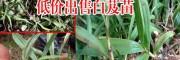 广东广州市三叉白芨种苗10~20cm0.75/棵多少钱?