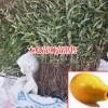 安徽81~110cm木瓜树苗多少钱一棵?