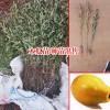 山西运城市绛县20~30cm木瓜树苗多少钱一棵?