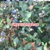 云南蓝莓苗几年开花结果?_15912240440