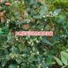 云南蓝莓种植株行距多少?_15912240440