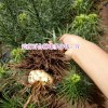 食用百合与药用百合哪种好?_云南宣威市百合种植专业合作社