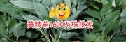 昆明黄精种苗销售公司_13987673662