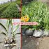 云南曲靖市会泽20-30cm三叉白芨种苗多少钱?
