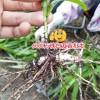 云南红河10公分以下白芨种苗多少钱?