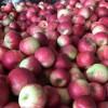 牡丹江市哪里有昭通苹果|昭通果业基地|13887043679