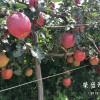 渭南市哪里有昭通苹果|昭通果业基地|13887043679