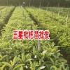 云南红河,蒙自枇杷苗价格多少钱一棵?