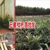 蒙自枇杷枇杷怎样栽培?_蒙自市红地果苗培育基地