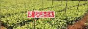 枇杷树苗基地- 枇杷育苗基地- 枇杷种苗基地