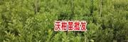 沃柑种植-沃柑苗哪里有出售