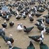 昆明黑毛乌鸡多少一公斤?黑毛乌鸡市场价格