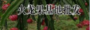 火龙果小苗图片·30公分火龙果种苗哪里销售