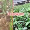 开红花的滇黄精苗价格-13466191986