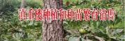 巨茎白芨图片#云南产地巨茎白芨