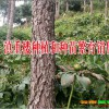 云南滇重楼小苗供应公司 13887290917