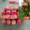 大理软籽石榴苗、宾川葡萄种植-13769217896