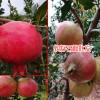 云南水果成熟时间表_水果自然成熟时间表