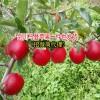 云南苹果_云南野生苹果_云南的野生苹果-13987210506
