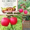 云南丑苹果的产地在哪?-云南丑苹果特点-剑川县续鹏种植园