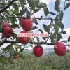 苹果什么时候吃最好?-云南野苹果