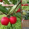 云南丽江市冰糖心苹果多少钱?_云南丽江市苹果价格网