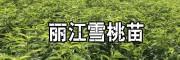 云南丽江雪桃苗_正宗丽江雪桃苗-15912788180