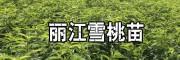 丽江雪桃营养价值_云南丽江雪桃树苗-15912788180
