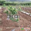 丽江雪桃属地理标志证明商标_丽江雪桃种苗
