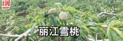 云南丽江雪桃苗价格 15元/棵-[地理标志证明商标]