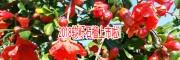 软籽石榴一株产可达15公斤
