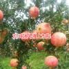 产地石榴的营养价值_会泽-云南软籽石榴-会泽县国权种植
