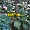 云南大理/楚雄,丽江,红河周边重楼育苗移栽建议