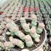 多肉系列;白牡丹,玫瑰种子,吉娃娃,佛珠,昆明批发18788196071