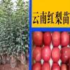 梨苗产量多少?_ 红梨树苗多少钱- 梨树苗多少钱?