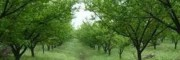 青梅苗木多少钱一株?_青梅树怎么种植