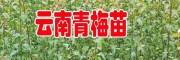 梅子树与李子树有什么差别(附图)_梅子苗供应
