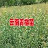 2018青梅产地行情价格_大青梅云南大理36元/斤