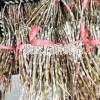 种铁皮石斛*石斛市场价格&石斛种苗*云南石斛枫斗供应价格