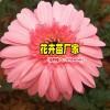 什么是非洲菊——景鑫花卉