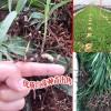 贵州白芨种植云南基地_ 贵州何处产白芨苗
