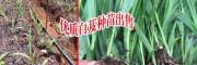 楚雄白芨基地肥料预算分析_楚雄白芨种植需投入多少元?