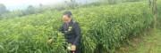 丽江雪桃苗哪里有卖的_丽江雪桃多少一斤?