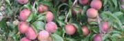 德国桃李苗树苗多少钱一棵
