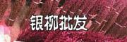 银柳基地,银柳种植基地,广州银柳TEL1818197985
