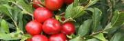 钙果树苗哪里有卖的_钙果种苗